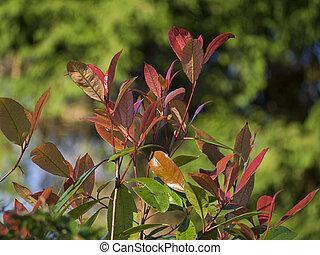 Shrub - Photinia Fraseri shrub