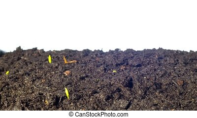 Pea sprouts grow, tilt time-lapse
