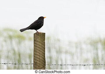 Blackbird on barbed wire fence post - Blackbird (Turdus...