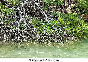 Established stand of mangrove plants - Mangrove branches...