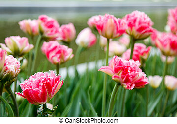 Terry fringed pink tulips on blured background