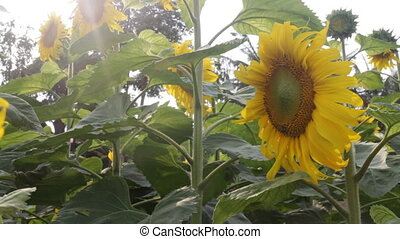 Beautiful sunflower blooming with rim light, stock video