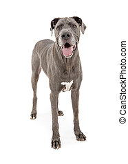 Beautiful Great Dane Dog Standing Over White - Pretty large...