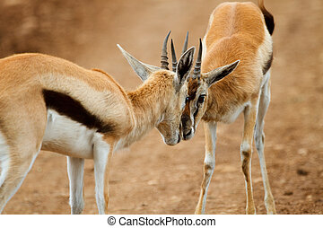 Thomsons gazelle - Two male Thomsons gazelles fighting...