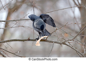 Jackdaw on a branch - Jackdaw bird on a branch and biting...