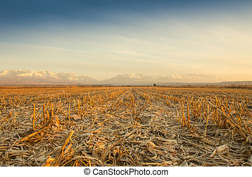 Green field with young corn at sunset
