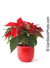 Christmas Flower - A fine christmas flower also known as...