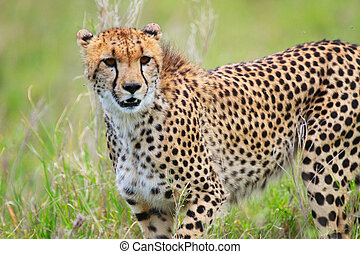 Cheetah - Beautiful cheetah in Serengeti national park,...