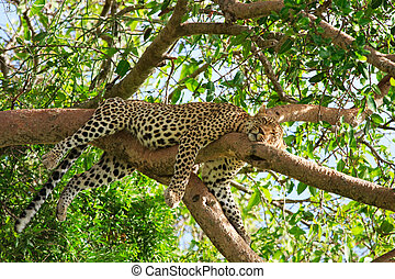 Leopard - Beautiful leopard sleeping on tree in Serengeti,...