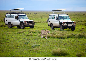 Game drive. Safari cars on game drive with cheetah in front...