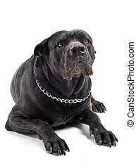 italian mastiff - portrait of a purebred black italian...