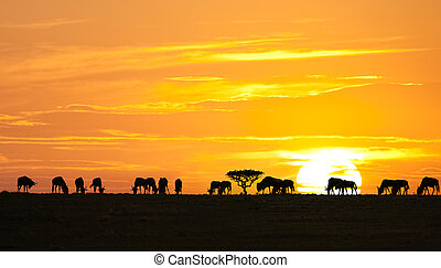 African sunrise - Silhouettes of wildebeests and acacia tree...