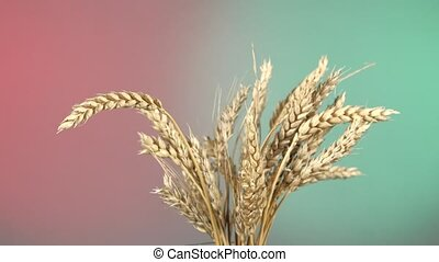 Ripe ears of wheat on red and green, rotation