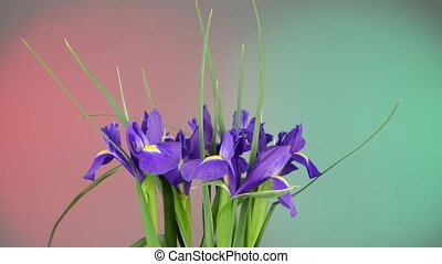 Beautiful iris flowers on red and green, rotation