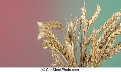 Dry ripe ears of wheat on red and green, rotation