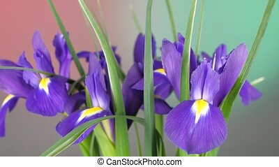 Beautiful iris flowers on red and green, rotation, close up...