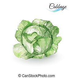 Cabbage - Watercolor Painting Cabbage Hand-drawn on white...