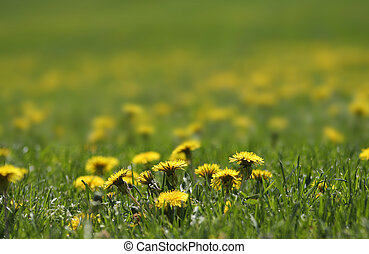 Dandelions - Close up shot of Dandelions on the lawn in...