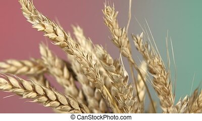 Ripe ears of wheat on red and green, rotation, close up -...