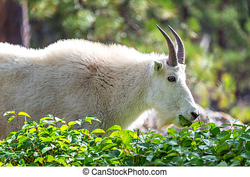 Rocky Mountain Goat - Rocky mountain goat in Custer State...