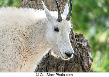 Rocky Mountain Goat Closeup - Closeup of the face of a rocky...