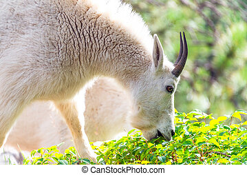 Rocky Mountain Goat Eating - Closeup picture of a rocky...