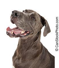 Happy Great Dane Dog Closeup - Portrait of large Great Dane...