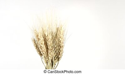 Ripe ears of dry wheat on white, rotation - Ripe ears of dry...
