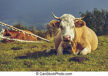 Cow and cow manure - Adult female cow resting on the grass...