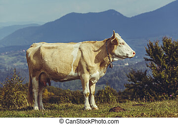 Cow and cow dung - Peaceful brown female cow with bell...
