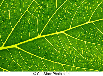 Photosynthesis - Structure of a green leaf