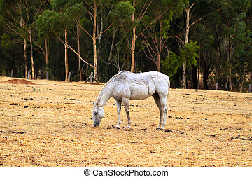 Horse Grazing on dry grass in sloped paddock. North Adelaide...