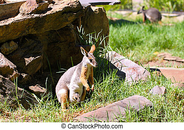 Yellow-Footed Rock-Wallaby with Joey - Petrogale xanthopus -...