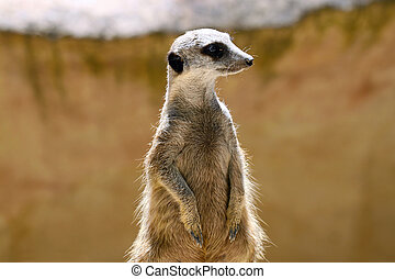 Meerkat (Surikate) standing upright as Sentry - Suricata...