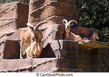 Three Barbary Sheep - Ammotragus lervia - One Male Standing...