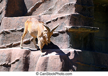 Barbary Sheep - Ammotragus lervia - climbing down artificial...