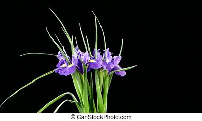 Beautiful iris flowers on black, rotation - Beautiful iris...