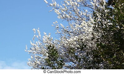 Spring day cherry tree in bloom. Wind. - Spring day cherry...