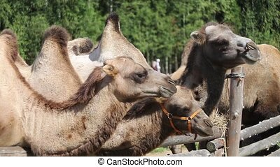 Two camels on farm - Three camels on farm eating