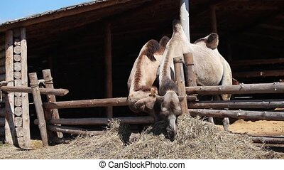 Two camels on farm eating