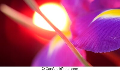 Side of bouquet iris flowers on black with red back light,...