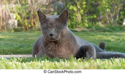Russian Blue cat enjoying the afternoon sun outdoors