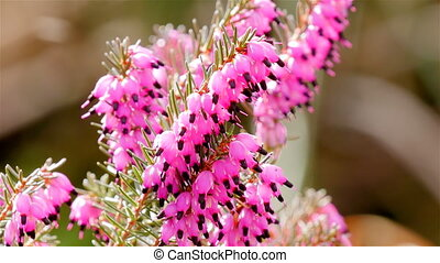 Pink heath close up with insects - Pink heath close up...