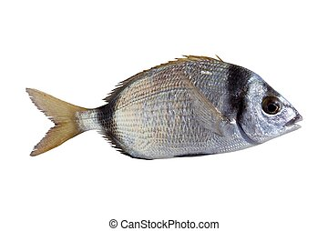 diplodus vulgaris fish two band bream isolated on white