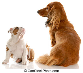 bulldog puppy and dachshund