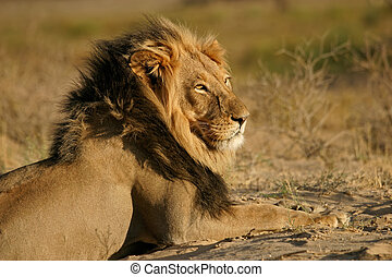 Big male African lion Panthera leo, Kalahari desert, South...