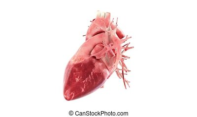 human heart rotation 360, loop - anatomically accurate 3d...