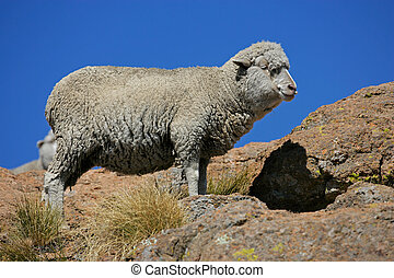 Merino sheep - A merino sheep standing on a roch against a...