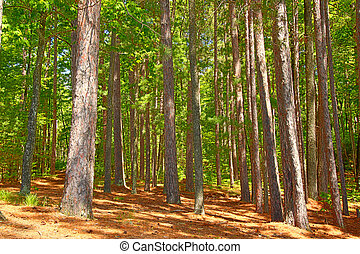 Northwoods Wisconsin - Pine forests dominate the landscape...