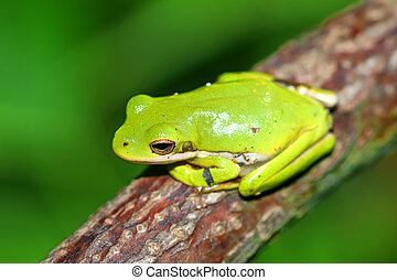 Green Treefrog Illinois Wildlife